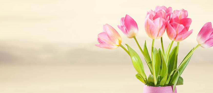Amazing pink tulip